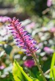 火柴梗Bromeliad, aechmea gamosepala花桃红色和蓝色 库存图片