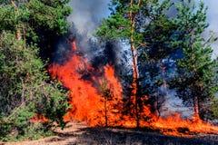 火 野火、灼烧的杉木森林烟的和火焰 图库摄影