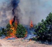 火 野火、灼烧的杉木森林烟的和火焰 库存照片