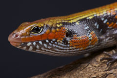 火skink/Lepidothryris fernandi 图库摄影