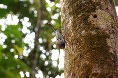 灯笼臭虫或光弹Pyrops sultanus,沙巴,马来西亚 Sof 库存图片