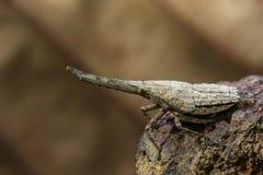灯笼臭虫或zanna nobilis若虫的图象在分支 库存照片
