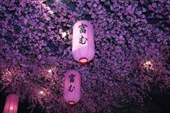 灯笼,在桃红色灯笼的焦点在桃红色开花背景,桃红色la 免版税库存图片