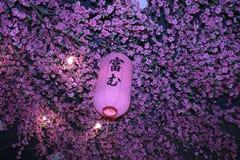 灯笼,在桃红色灯笼的焦点在桃红色开花背景,桃红色la 免版税库存照片