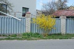 灰口铁篱芭和黄色灌木在草在路附近 库存照片
