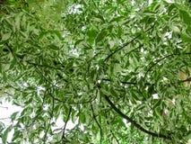 灰叶子槭树叶子的美好的自然抽象绿色背景 库存图片