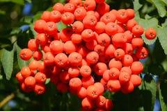 灰山红色花揪 库存图片