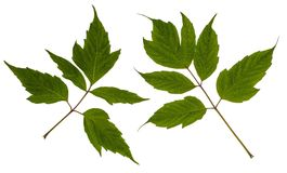 灰有叶的槭树 槭树美国人 图库摄影