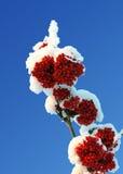 灰浆果分支红色雪下 免版税库存图片