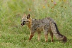 灰狐狸在春天 免版税库存照片