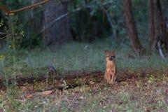 灰狐狸在森林里 免版税图库摄影