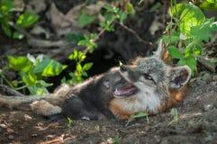 灰狐狸成套工具灰狐狸类cinereoargenteus在母亲Mou的休息头 库存照片