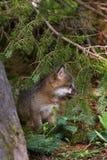 灰狐狸成套工具(灰狐狸类cinereoargenteus)在杉木坐 免版税库存照片
