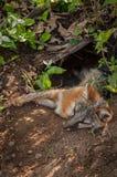 灰狐狸灰狐狸类cinereoargenteus泼妇说谎与头在外面 库存图片