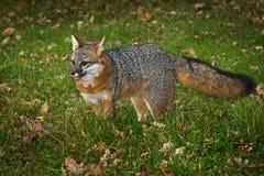 灰狐狸灰狐狸类cinereoargenteus站立舌头耳朵  图库摄影