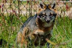 灰狐狸 免版税库存图片
