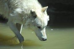 灰狼喝 免版税库存照片