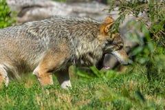 灰狼在与开放的嘴的明媚的阳光下 免版税库存图片