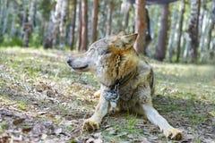 灰狼在公园 免版税库存照片