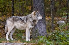 灰狼在看起来的森林里不错在树旁边, 库存图片