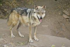 灰狼墨西哥狼 免版税库存图片
