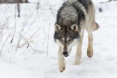 灰狼天狼犬座偷偷靠近向前关闭 图库摄影