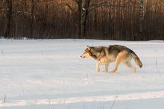 灰狼天狼犬座通过斯诺伊领域偷偷靠近左 免版税库存图片