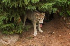 灰狼小狗天狼犬座从杉木下面凝视  免版税库存照片