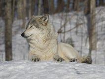 灰狼开会 库存照片