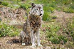 灰狼,当看您时 库存照片