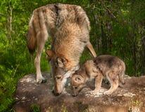 灰狼(天狼犬座)和在岩石上面的小狗嗅 免版税库存照片