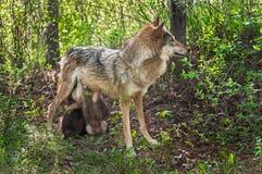 灰狼(天狼犬座)在遮荫区域喂养她小狗 免版税库存照片