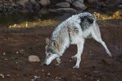 灰狼(天狼犬座)沿泥泞的银行跑 图库摄影