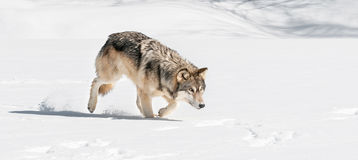 灰狼(天狼犬座)通过雪偷偷靠近  免版税库存照片