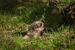 灰狼& x28; 犬属lupus& x29;在植物的小狗叮咬 库存图片
