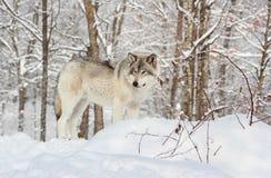 灰狼 免版税图库摄影