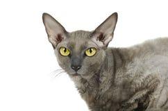 灰色东方猫,国内宠物开会,隔绝在白色背景 库存图片