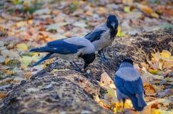 灰色乌鸦开掘的蠕虫在秋天公园 免版税库存照片
