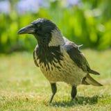 灰色乌鸦 库存照片