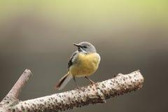 灰色令科之鸟 免版税图库摄影