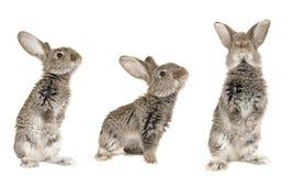 灰色兔子三 免版税图库摄影