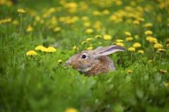 灰色兔子和蒲公英 免版税图库摄影