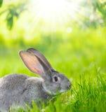 灰色兔子画象  库存照片