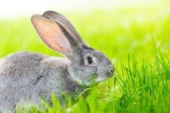 灰色兔子画象  免版税库存照片