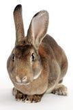灰色兔子 免版税图库摄影