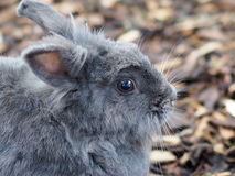 灰色兔子 库存图片