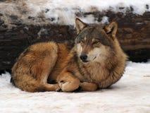 灰色冬天狼 免版税库存照片