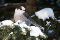 灰色加拿大杰伊在阿尔冈金省立公园,安大略 库存图片