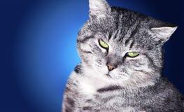 灰色厚脸皮的猫 免版税库存照片
