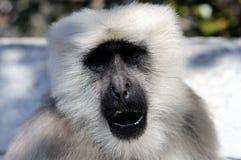 灰色叶猴 免版税库存照片